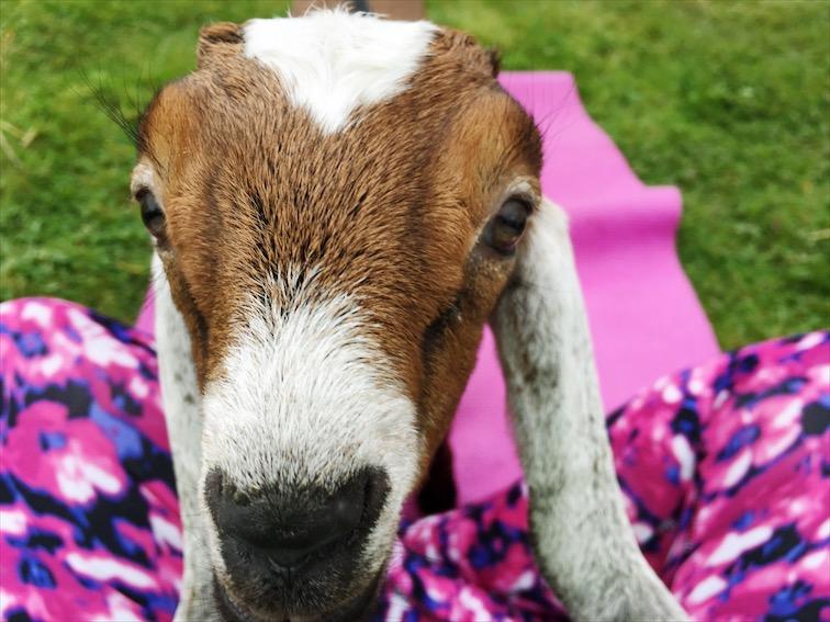 No kidding, I tried Goat Yoga!