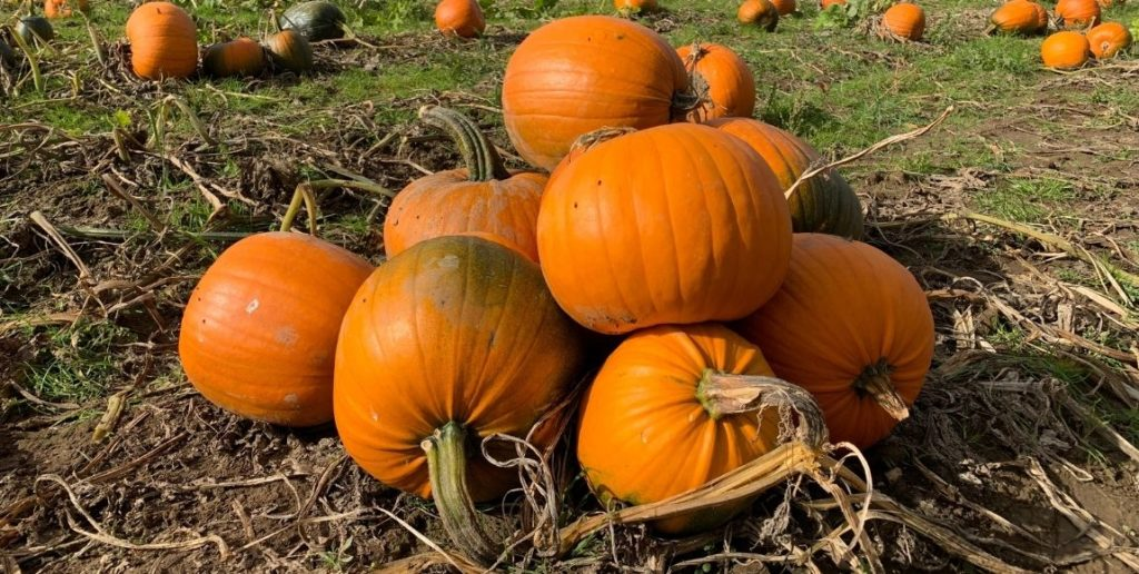 pumpkins stacked up in a field